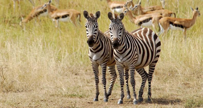 safari au Kenya entre nairobi et Massai Mara